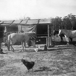 'House' water tank, Standard Vanguard car, ponies Percil, Rinso, Chance, dog, shed, chooks, fowls,